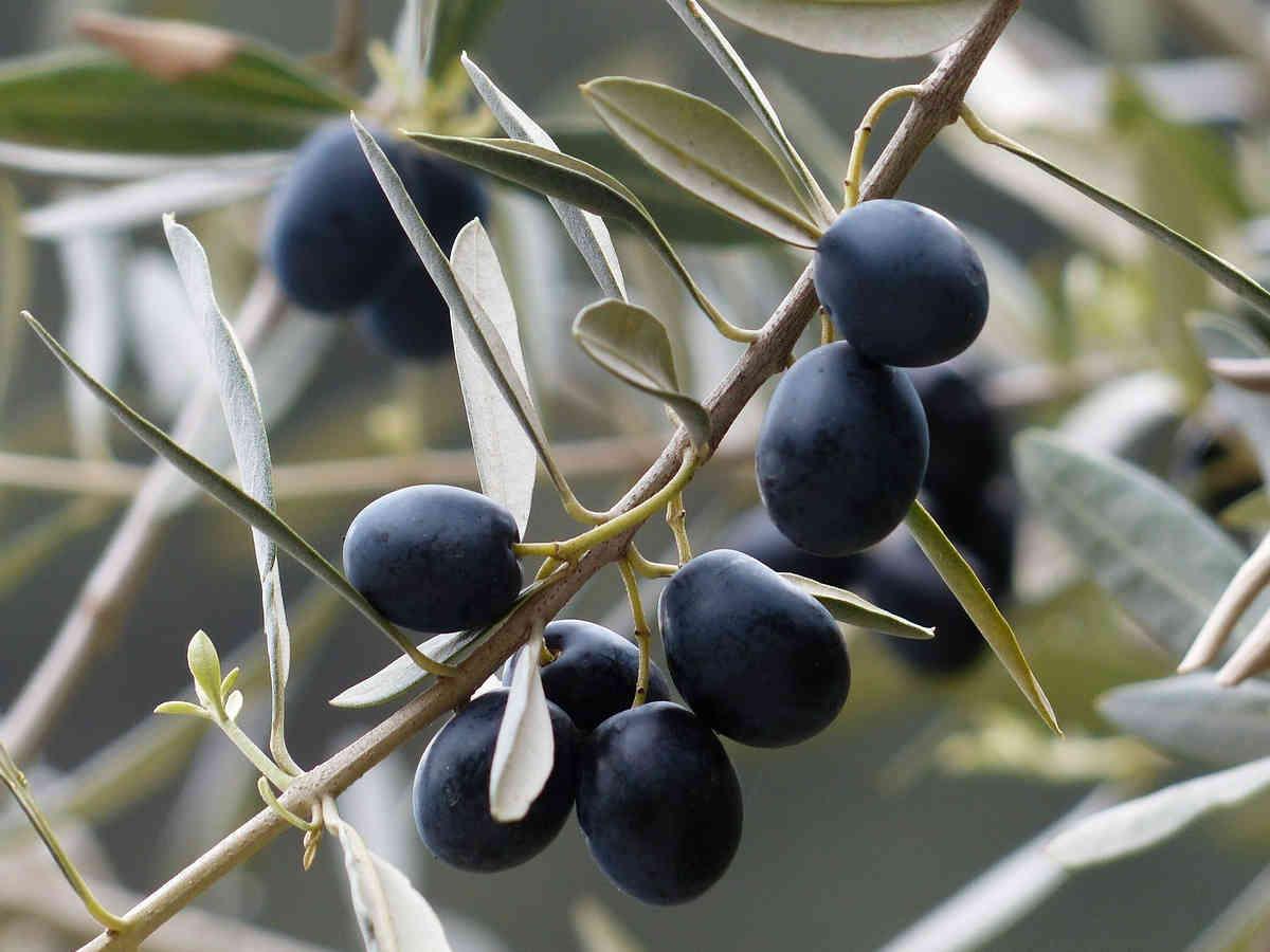 oliven aus der toscana